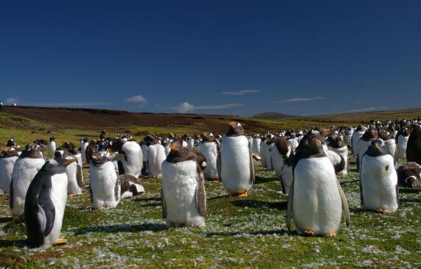 Fotografía de pingüinos en las Islas Malvinas.