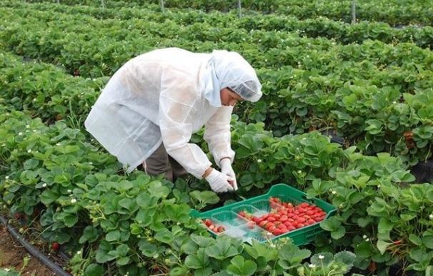 Trabajadora recoge fresas en una finca en Huelva