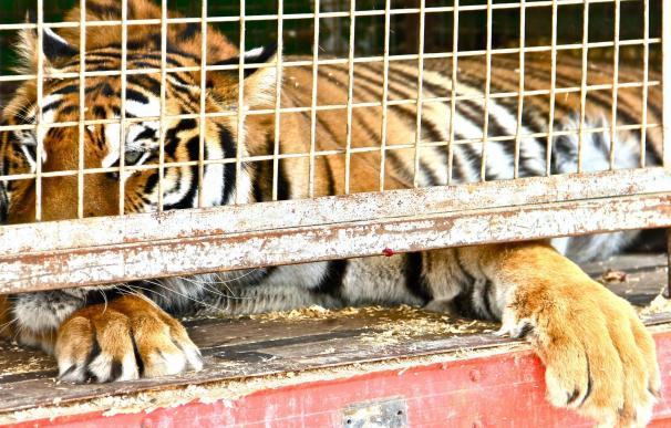 Las Corts instan de forma unánime al Consell a prohibir la instalación de circos con animales salvajes