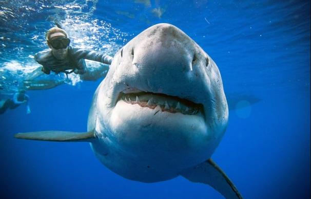 El ancho inusual del tiburón hembra puede indicar que está preñada Foto: @JuanSharks