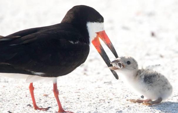 Fotografía de un ave alimentando a su polluelo con una colilla.