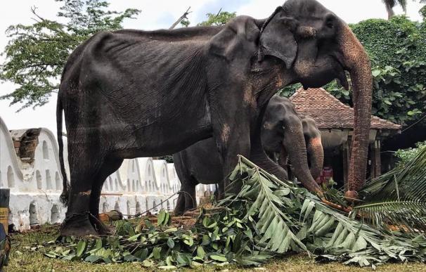 Fotografía de Tikiri, la elefanta de 70 años explotada en Sri Lanka.