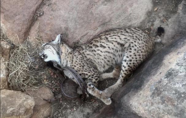 Fotografía de uno de los linces ibéricos que perdieron la vida por culpa de cazadores furtivos.