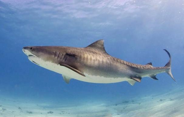 Fotografía de un tiburón tigre.