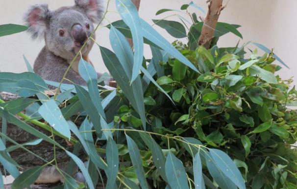 Un nuevo macho de koala llega a Zoo Aquarium de Madrid