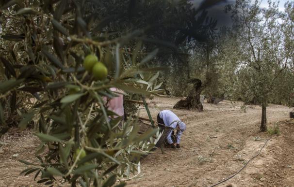 ¿Recoger la aceituna en Jaén? Pagan más que nunca y con el mejor convenio de todo el país