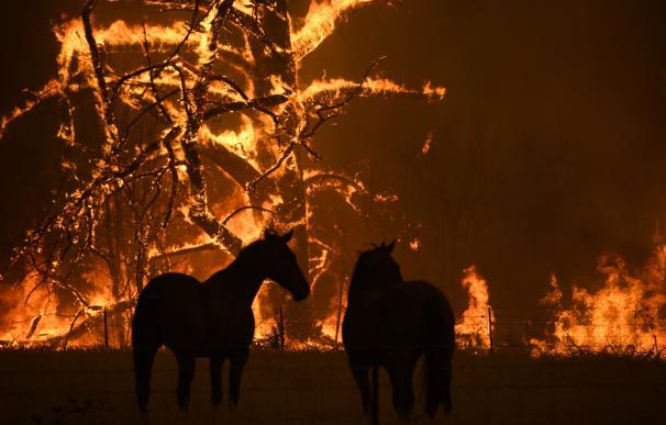 Incendios Australia animales