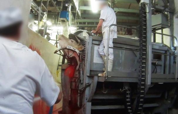 Una ONG denuncia el sacrificio de una vaca aún viva