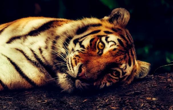 Fotografía de un tigre.