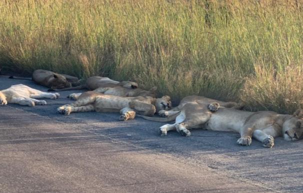 Fotografía de los leones durmiendo la siesta en Sudáfrica.