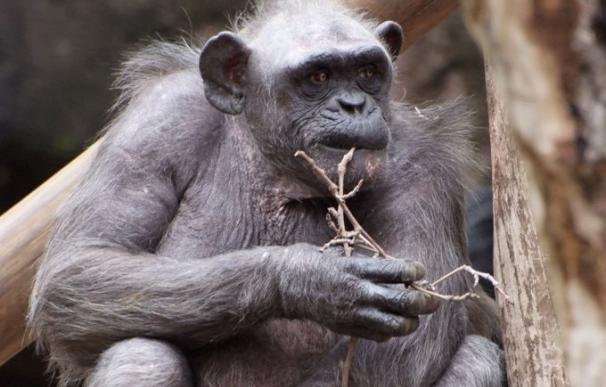 Muere en el Zoo de Barcelona la chimpancé La Vieja, la más longeva de Europa