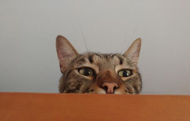 Día Internacional del Gato, gato