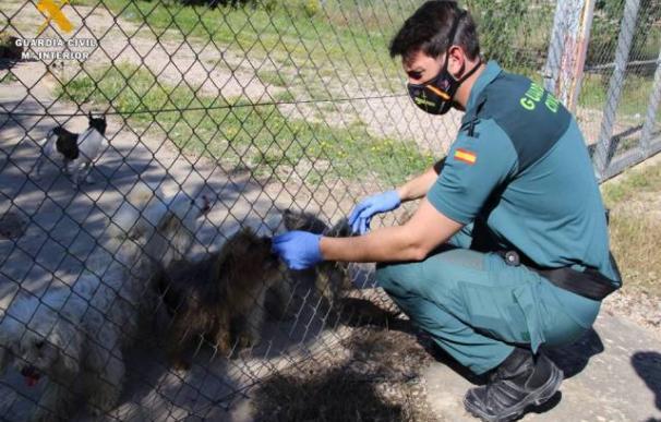 La Guardia Civil investiga a dos personas dedicadas a la cría de perros por maltrato animal