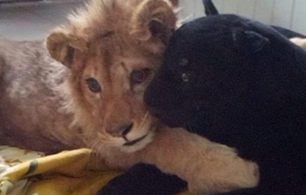 El cachorro de león ya recuperado