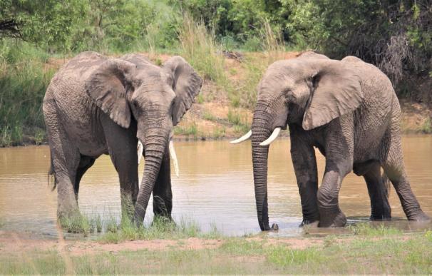 Encuentran cientos de elefantes muertos