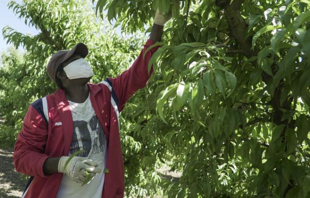 Temporero recolectando fruta en una plantación