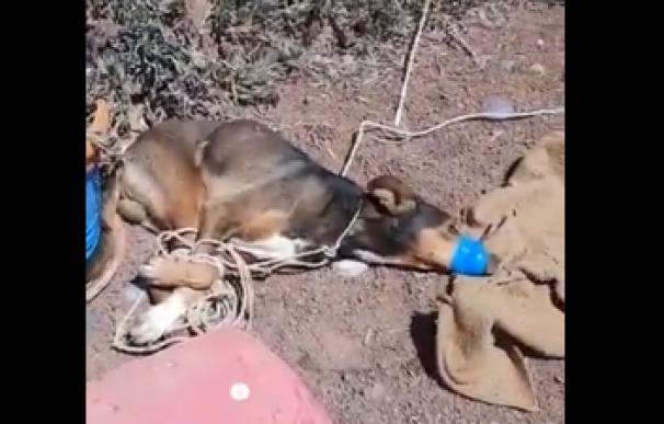Timple, el perro asfixiado por una pareja en Lanzarote.