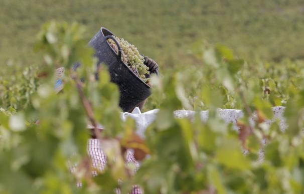 Un trabajador carga con un cesto de uva durante la vendimia de 2020.