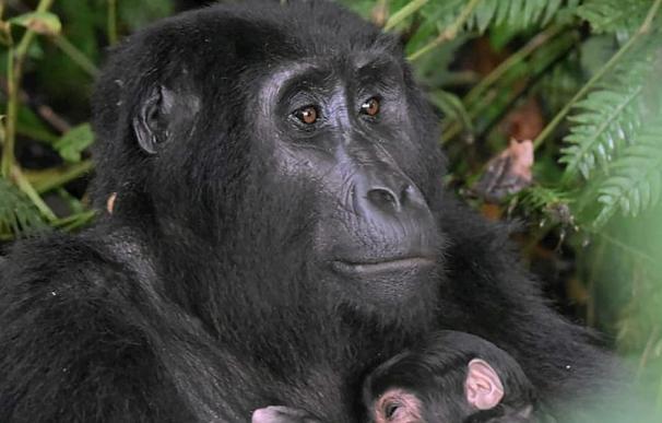 La gorila Ruterana, 18 años, abraza a su bebé recién nacido en el Parque Nacional de Bwindi (Uganda)