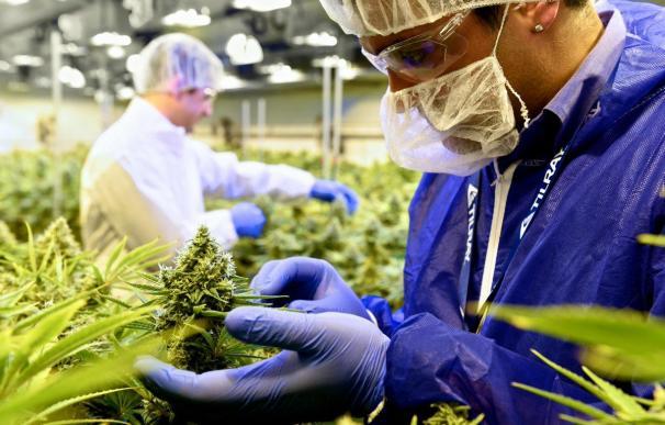 Tilray es una de las grandes empresas que se dedican a la comercialización del cannabis.